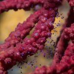 paars hoornkoraal