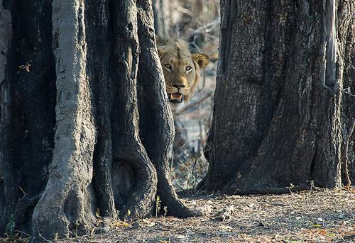 Glurende Leeuw