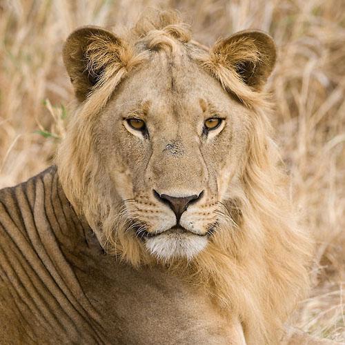 Portret Leeuw