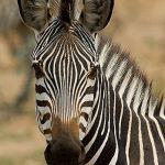 Portret Zebra
