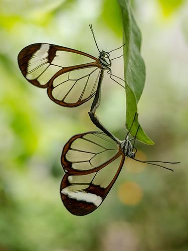 Parende vlinders