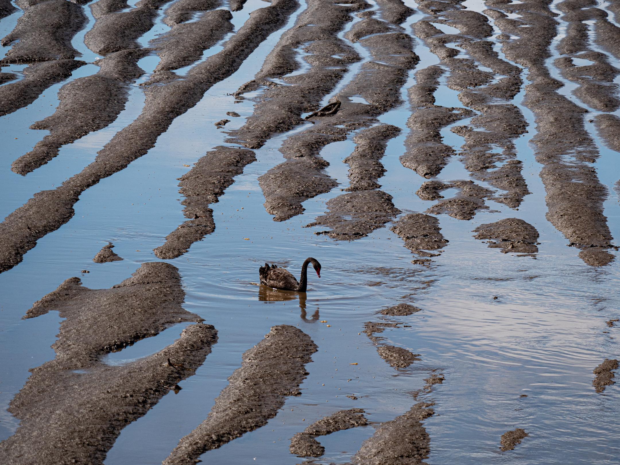 Zwarte zwaan, Tasmanië