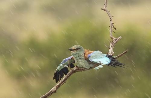 Europese scharrelaar in de regen