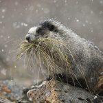 Grijze marmot
