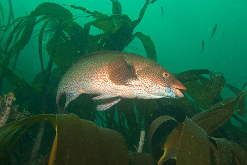 gevlekte lipvis