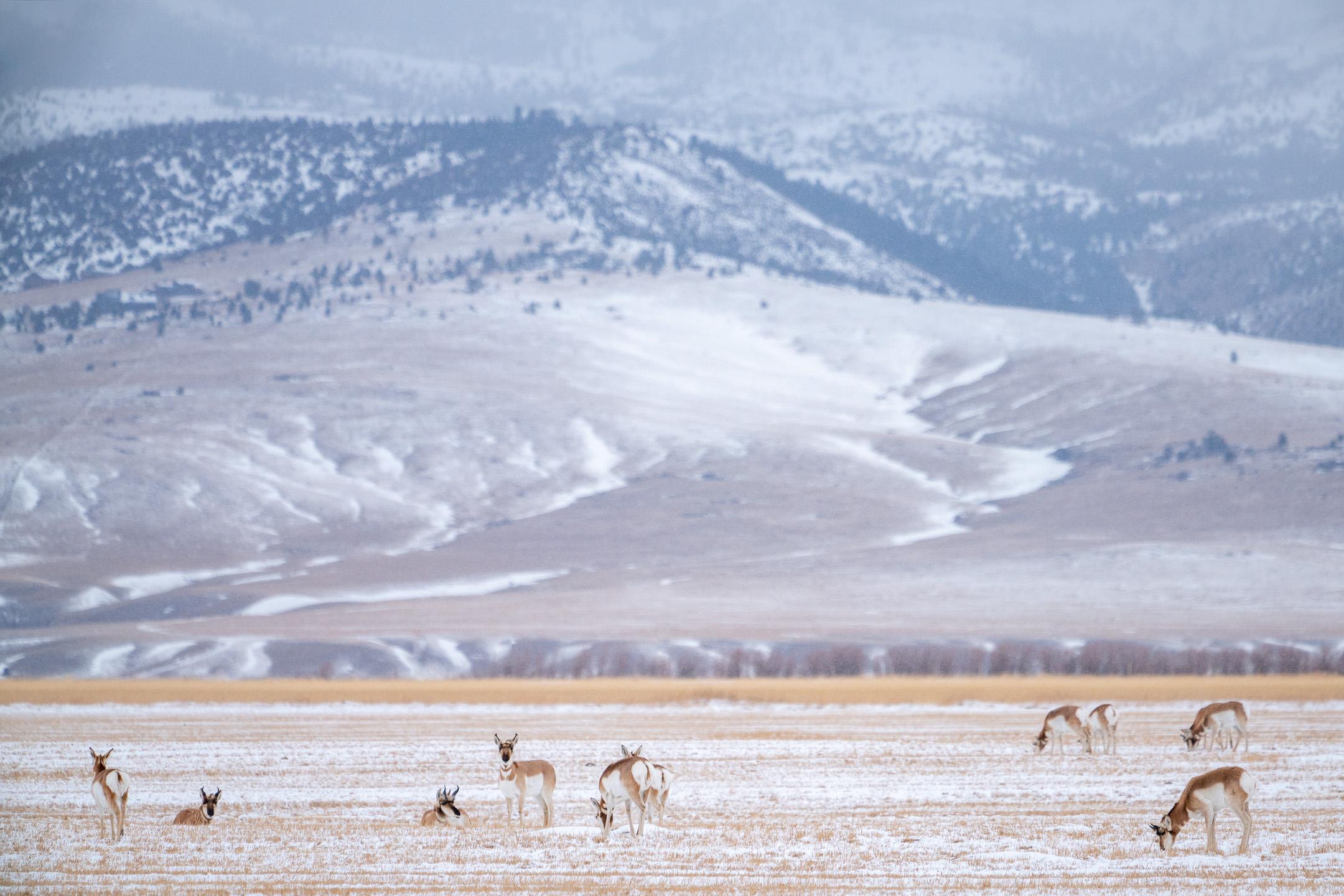 Gaffelhertantilopen, Yellowstone